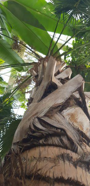 Kaune pražydo aukščiausia Lietuvoje palmė